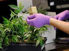 Michigan será el décimo estado en aprobar uso recreativo de marihuana