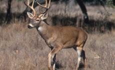 Buscan detener enfermedad fatal en ciervos