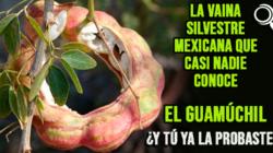 La deliciosa vaina silvestre mexicana que casi nadie conoce, el Guamúchil