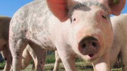 VÍDEO: Lanzan desde más de 50 mts de altura a un cerdo por un comercial
