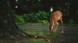 Senador propone reducir las multas por cebar a los ciervos