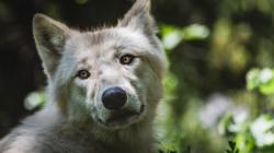"""Hombre se lleva sorpresa al descubrir que su """"perrita"""" era una loba auténtica"""
