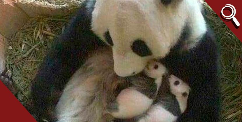 Buenas noticias: Nacen pandas gemelos en China