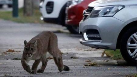 VÍDEO: Puma deambula por las calles desiertas de Santiago de Chile