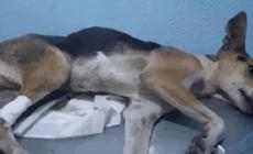 Perrito muere tras ser abusado sexualmente en México