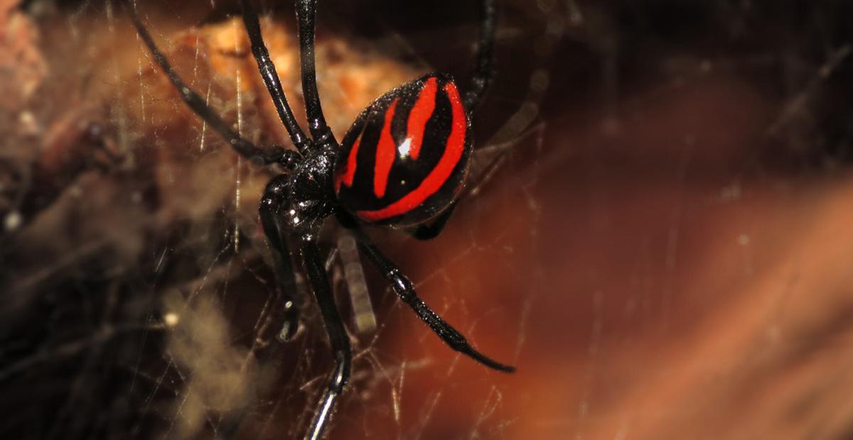 Niños se dejan picar por viuda negra para 'convertirse' en Spider-Man